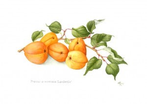 Prunus_armeniaca_Lambertin