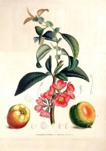 13750_Rosaceae%20-%20Pyrus%20japonica