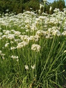 Allium_tuberosum_HabitusInflorescences_BotGardBln0906