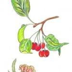 Cerasus_glandulosa