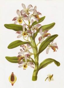 Dendrobium_nobile_RHS