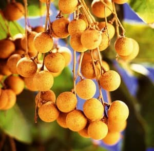 Dimocarpus_longan_fruits