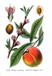 Persica_vulgaris