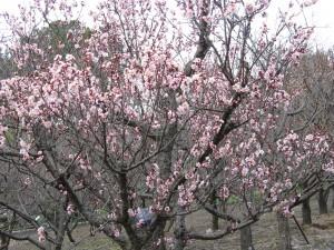 Prunus_mume_Koutoji2