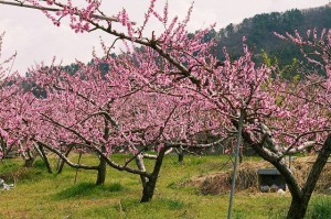 Prunus_persica_(200804)