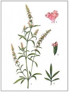Schizonepeta multifida_2