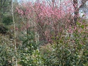 Silberstein_Prunus%20mume