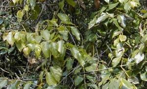 Uncaria_rhynchophylla