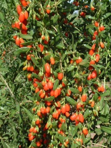 Wolfberries_Ningxia1_7-04