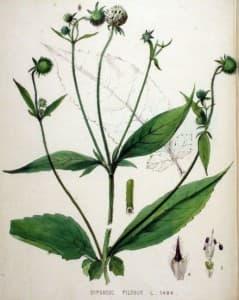Dipsacus pilosus