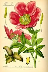 paeonia-officinalis