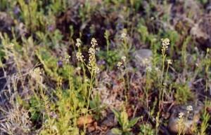 prairie_pepper_grass_brassicaceae_lepidium_densiflorum