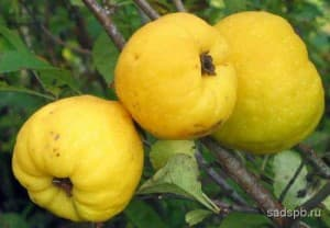 Chaenomeles_fruits
