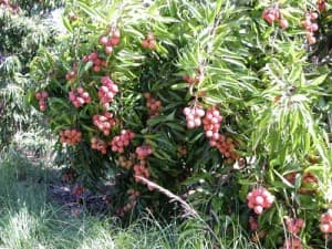 PIFM-Lychee-tree-with-fruit